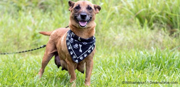 Corgi Shepherd Chihuahua mixed breed dog nursing puppies outside on leash. Dog rescue pet adoption photography