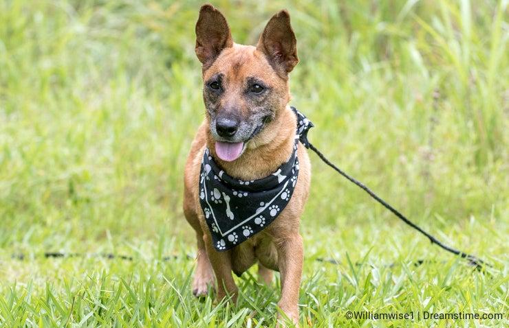 Lactating female mother dog. Tan Corgi Shepherd Chihuahua mixed breed dog outside on leash. Dog rescue pet adoption photography