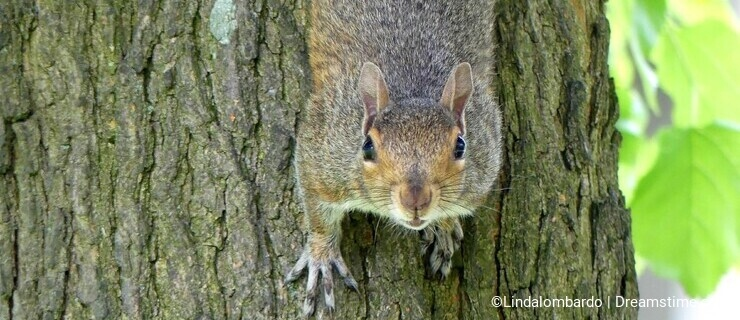 Squirrel Climbing down a Mulberry Tree Stops to Stare to You