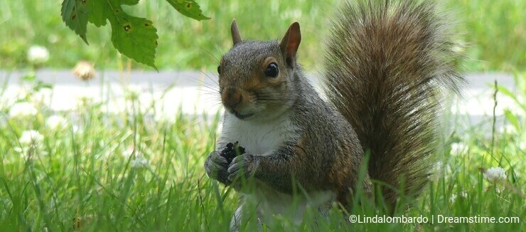 Gray Squirrel eat a ripe mulberry in the grass under a Weeping Mulberry tree