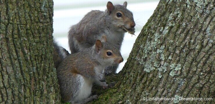 Two Squirrels Sitting in a Tree, one has some leaves in its mouth