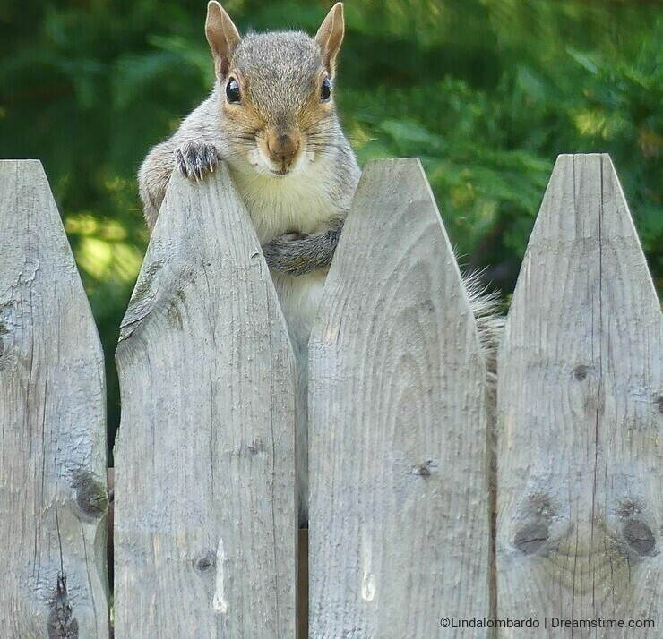 Squirrel Staring over the Fence at the Camera