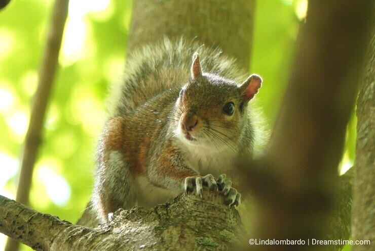 Gray Squirrel perched in a tree looking attentively at something with lots of greenery