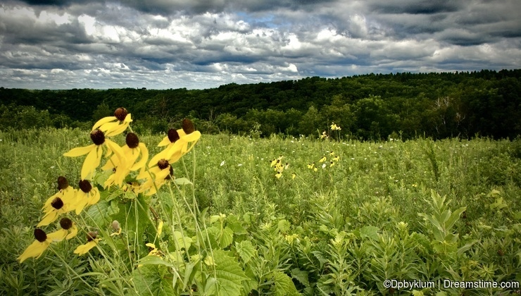 Black-Eyed Susans grow on a meadow atop a bluff in Minnesota.