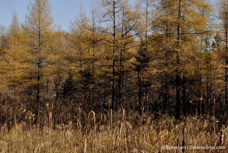 A rural forest and swamp scene in Minnesota.