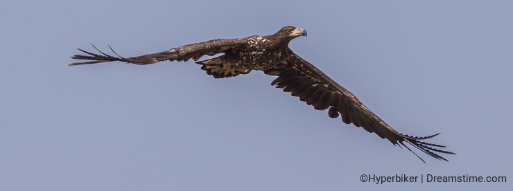 White-tailed Eagle in Flight on Clear Sky