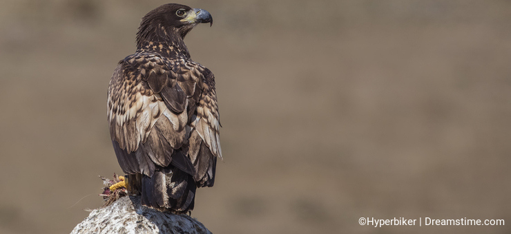 White-tailed Eagle on Rock