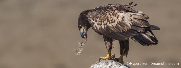 White-tailed Eagle Eating Carrion