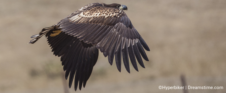 White-tailed Eagle in Flight with Wings Closed
