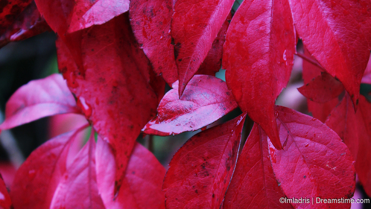 Deep red Creeper Leaves fall color