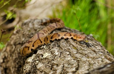 Copperhead versus Cat!