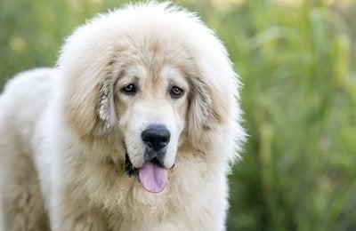 Dog Rescue Photography: Zeus the Tibetan mix
