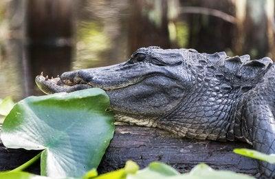 Gator Battles