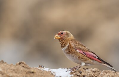 Get to know the birds of Turkey - 18 - Eurasian Crimson-winged Finch