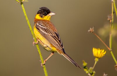 Get to know the birds of Turkey - 43 - Black-headed Bunting