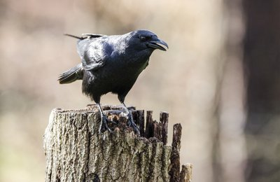 Nature Photographer's Tip: Listen to the Crows!
