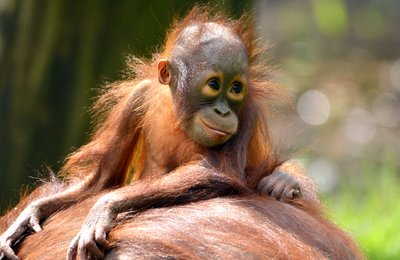 The orangutang  baby
