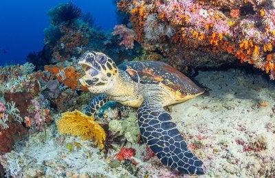 Underwater Life List (Wide-angle) #3: Sea turtles
