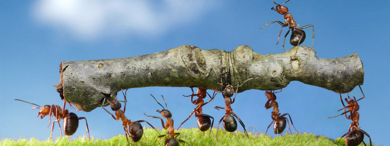 Stock photo: ants carry log with chief on it, team work