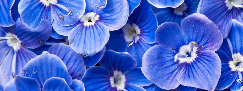 Stock photo: blue flowers