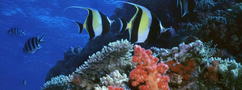 Stock photo: moorish idol reef