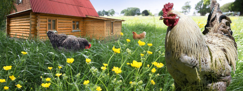 Stock photo: free range rooster and hens