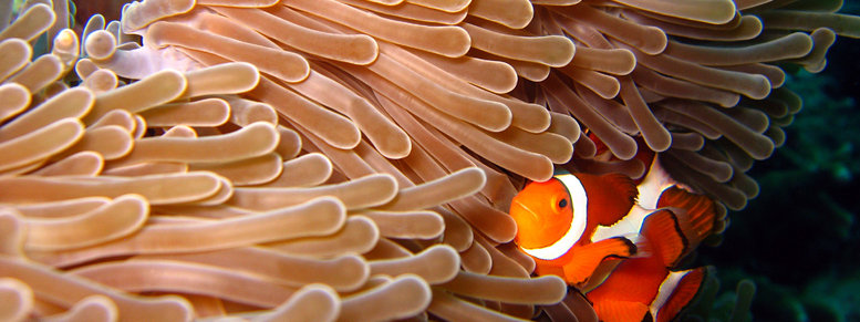 Stock photo: western clown-anemonefish