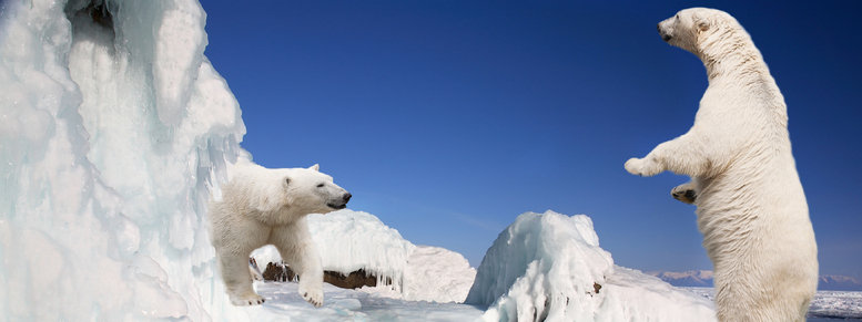 Stock photo: two white polar bears