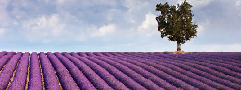 Stock photo: lavender field and a lone tree