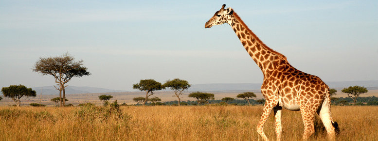 Stock photo: giraffe (kenya)