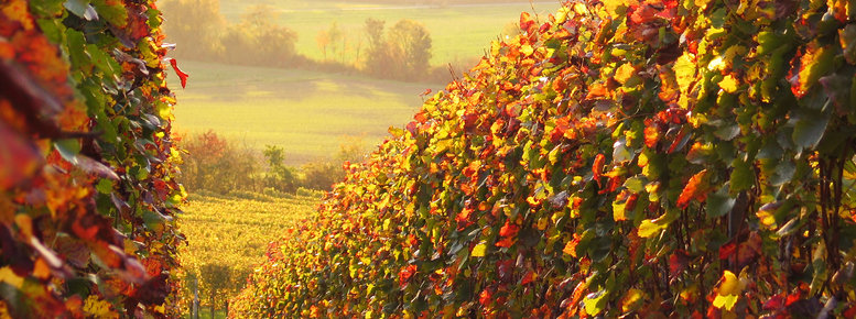Stock photo: sunlit colored vineyard