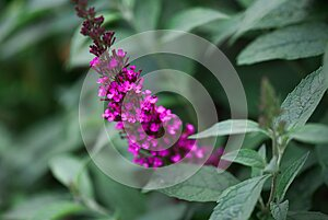 Abstract of a Purple Butterfly Bush