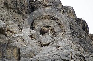Alaska Highway Stone Mountain Sheep