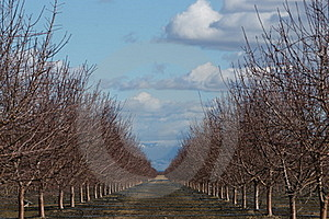 Almond grove water irrigation