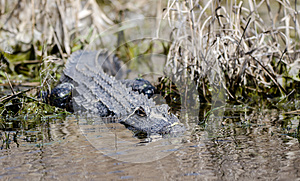 American Alligator, Okefenokee Swamp National Wildlife Refuge