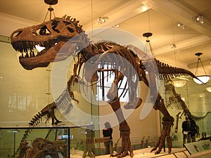 American Museum of Natural History, dinosaur, tyrannosaurus, tourist attraction, extinction