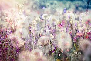Beautiful landscape in spring - dandelion seed, fluffy blow ball