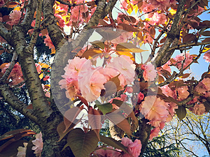 Beautiful spring sakura blossom