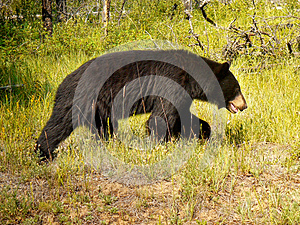 Black Bear, Canadian Rocky Mountains