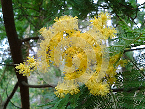 Blooming mimosa tree, Acacia dealbata