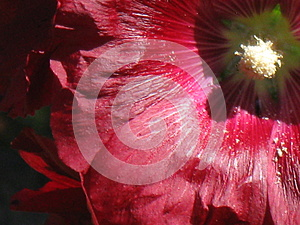 Bright Red Hollyhock closeup