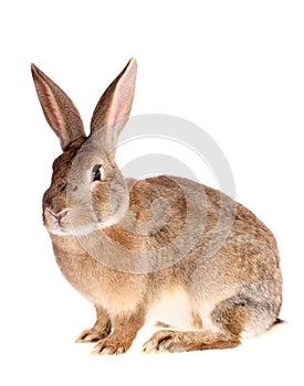 Brown-Kaninchen, getrennt.