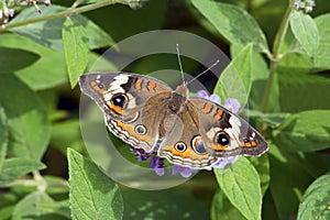 Buckeye Butterfly on Butterfly Bush