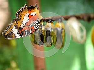 Butterfly and Pupa