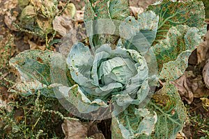 Cabbage eaten by aphids and pests. Loss of crop yield.