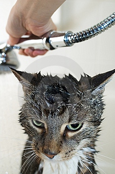 Cat bimonthly shower