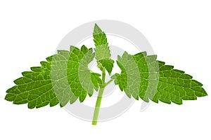 Catnip lemon mint leaf