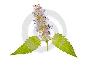 Catnip mint herb