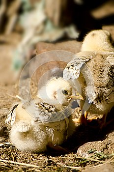 Chicks in the farmyard