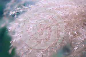 Closeup toning image of plants grass with soft focus similar to Feather or Needle , Nassella tenuissima. Decoration